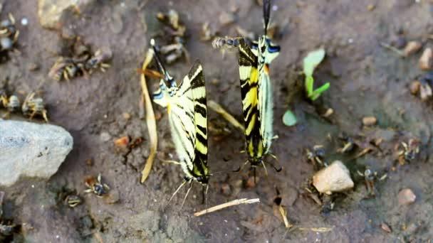 otakárek butterfly