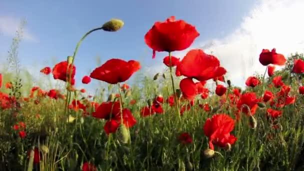 pole červené květy máku počátkem léta