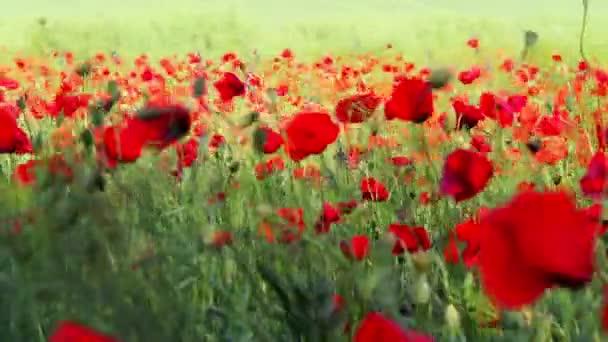 červený květ máku pole