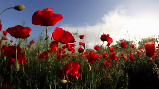 A mező a szél-piros pipacs virágok