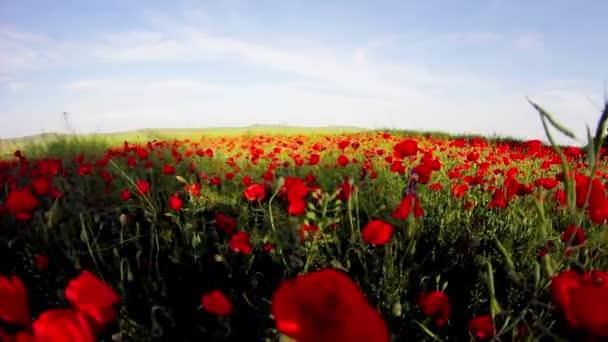 Červený květ máku pole s rybím okem