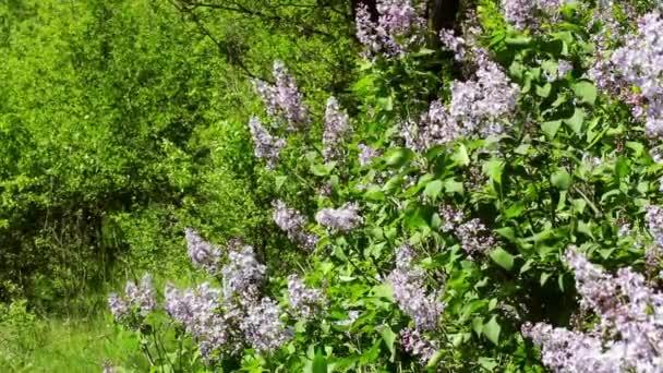 Lila virágzó bokrok