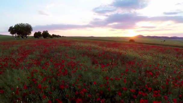 Pole červené květy máku v pohybu