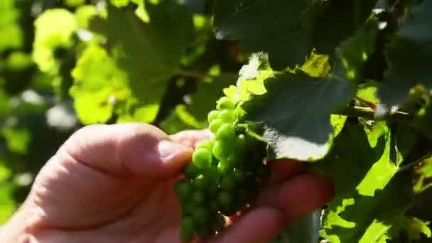 Farmář, kontrola nezralých hroznů na vinici