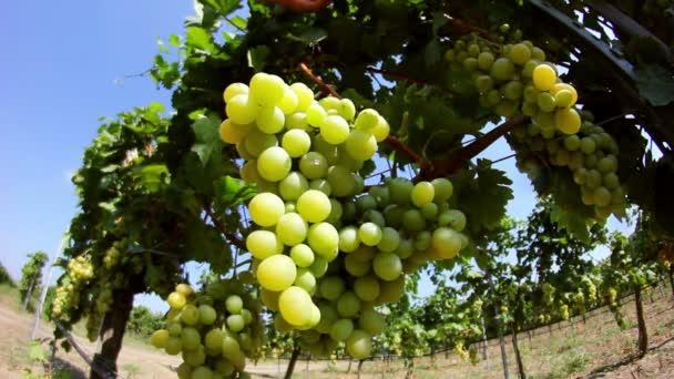 Közeli kép a szőlő a szőlő
