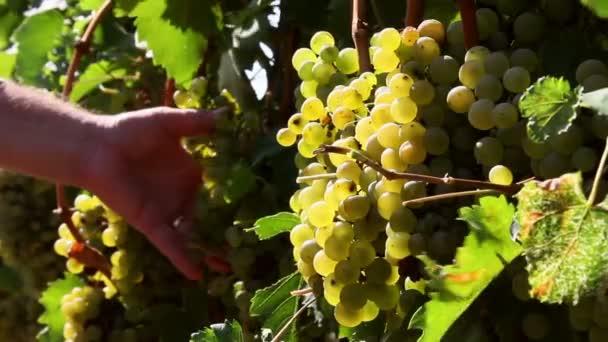 Farmář, kontrola hrozny na vinici před sklizní