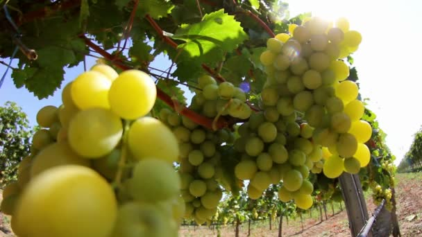 Nahaufnahme der Trauben im Weinberg
