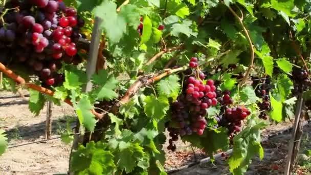 Dolly shot z červených hroznů na vinici