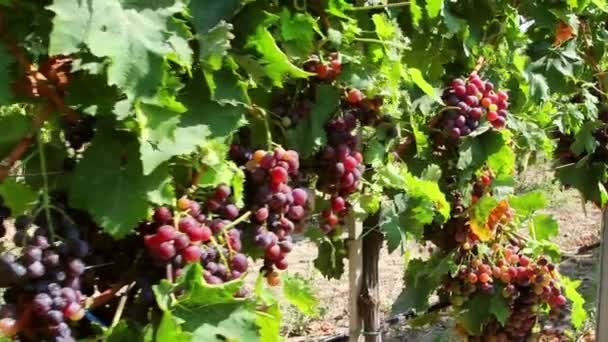 Dolly shot of red grapes hanging on a vineyard