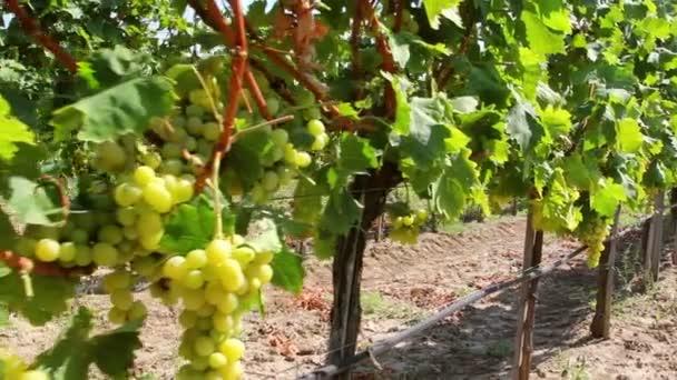 Dolly lövés a fehér szőlő szőlő lóg