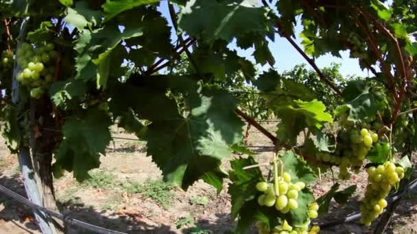 Dolly shot z bílých hroznů na vinici