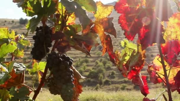 Vines with red leaves in autumn