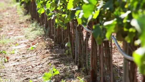 Zavlažování vinic