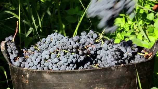 Bunches of grapes falling in a basket during harvest