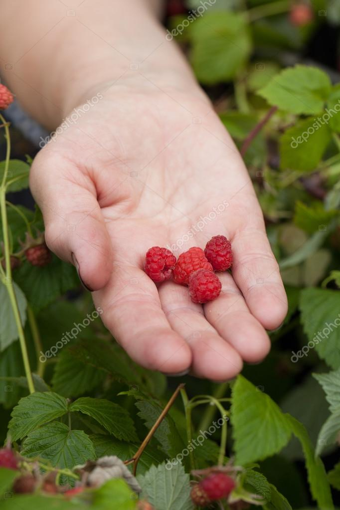 Raspberries in a hands of old woman. Selective focus