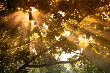 the sun's rays passing through the pear and lighting plot. tinte