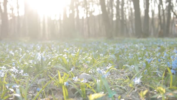 Glade of snowdrops with ladybugs and sun