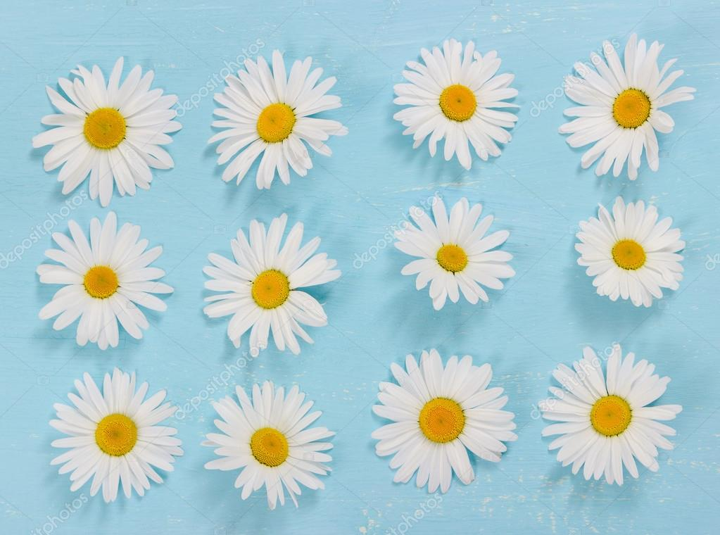 Chamomile flowers on blue background. Flat lay.