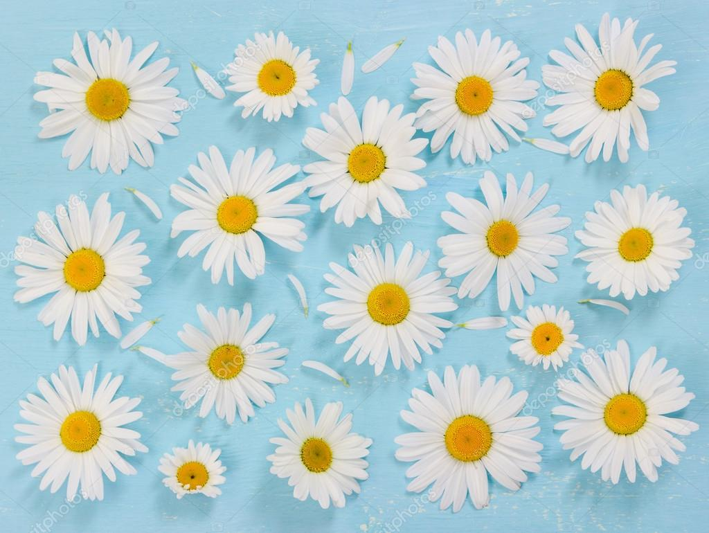 Chamomile flowers on blue wooden background.