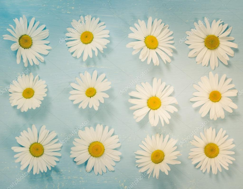 Chamomile flowers on blue vintage background. Flat lay.