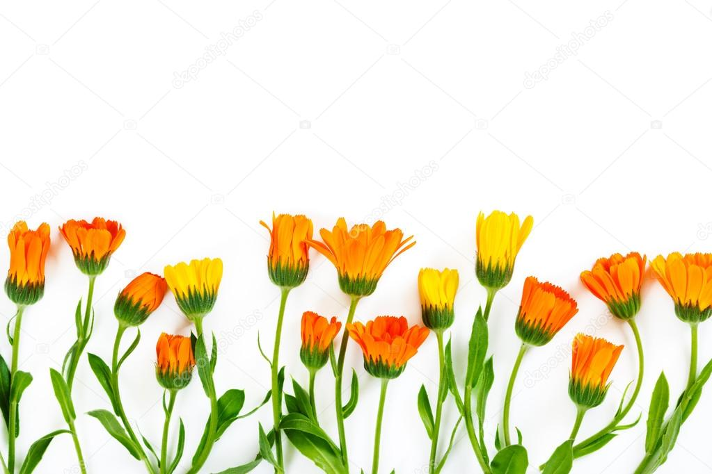 Flowers calendula on white background.