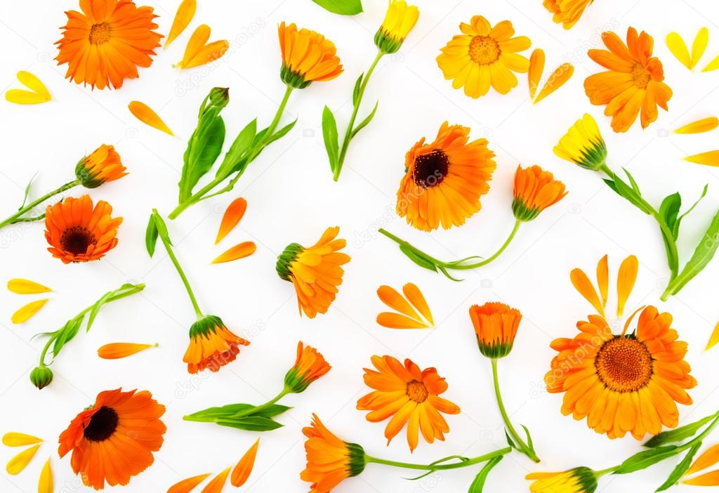 Flat lay composition with flowers calendula on white background.