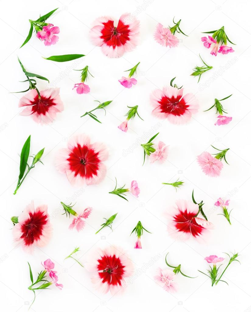 Carnation flowers on white background.