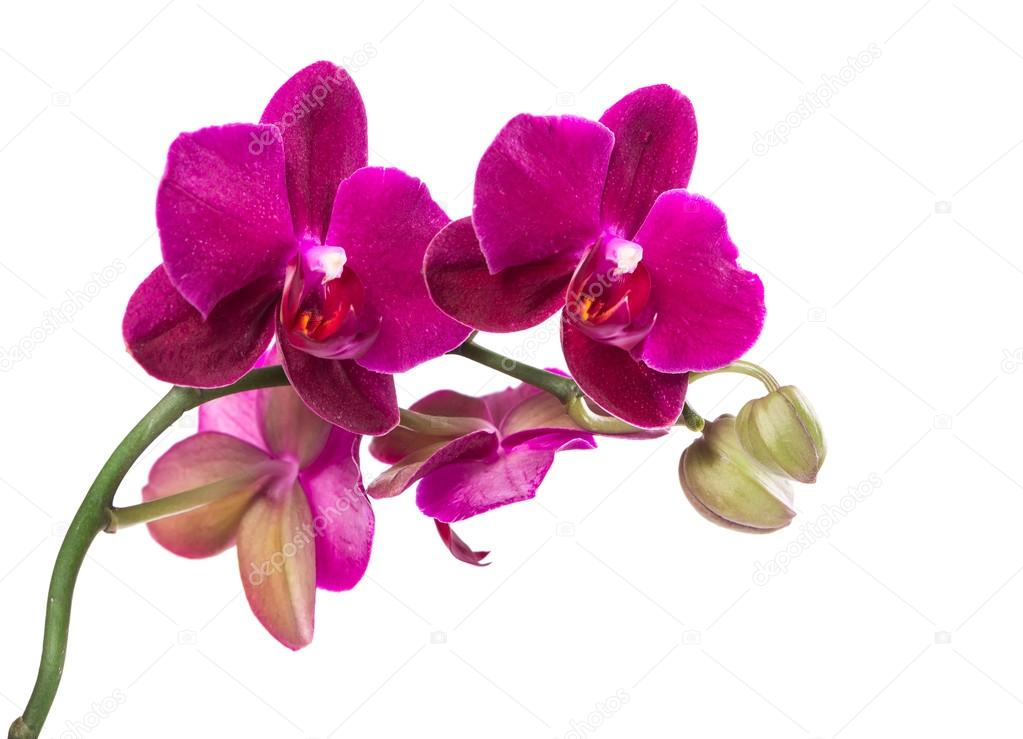Branch purple orchid