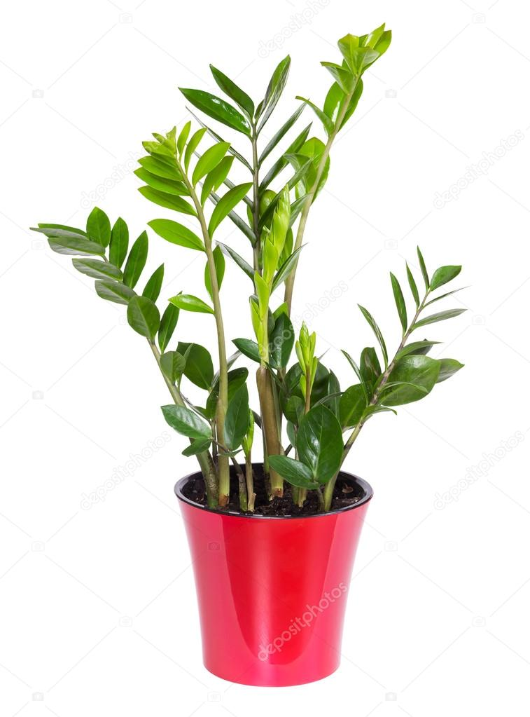 Zamioculcas isolated on white background