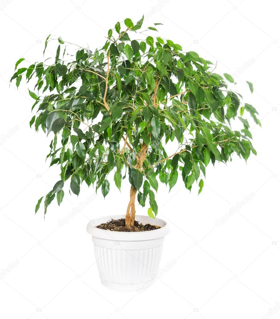 Ficus benjamina  isolated on white background.