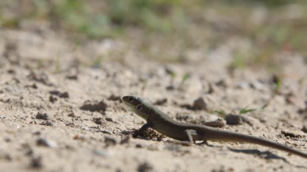 Lizard on a dirt road, sunny day.