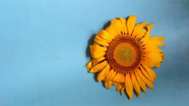 napraforgó - virágot háttér
