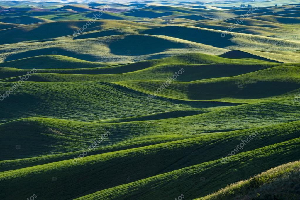 Fields of green wheat in Eastern Washington state