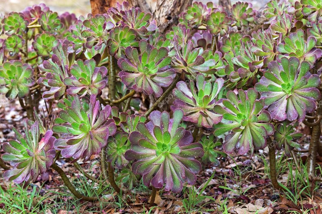 Purple Aeonium arboreum in green with purple tips, also called tree houseleek