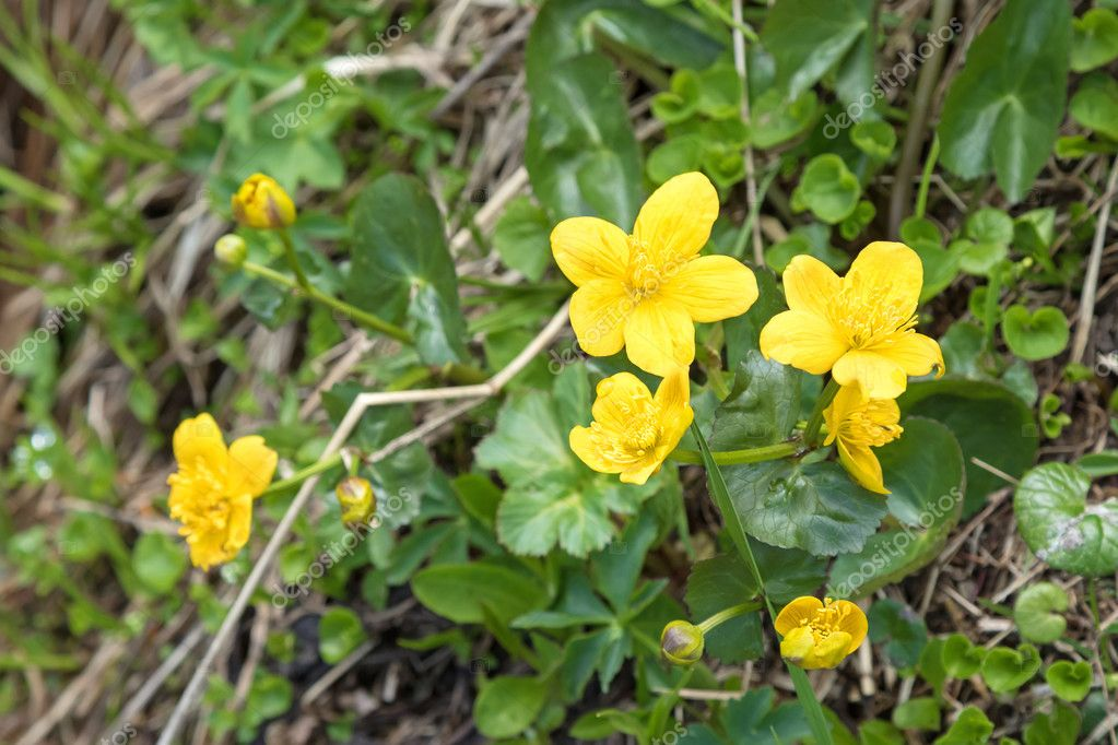 Marsh Marigold Flowers In Yellow Growing On Wet Woodland Blossoming