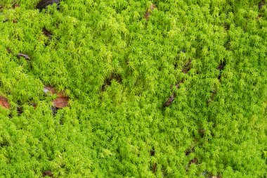 Texture of fresh green Peat moss, Sphagnum Moss growing in the forest