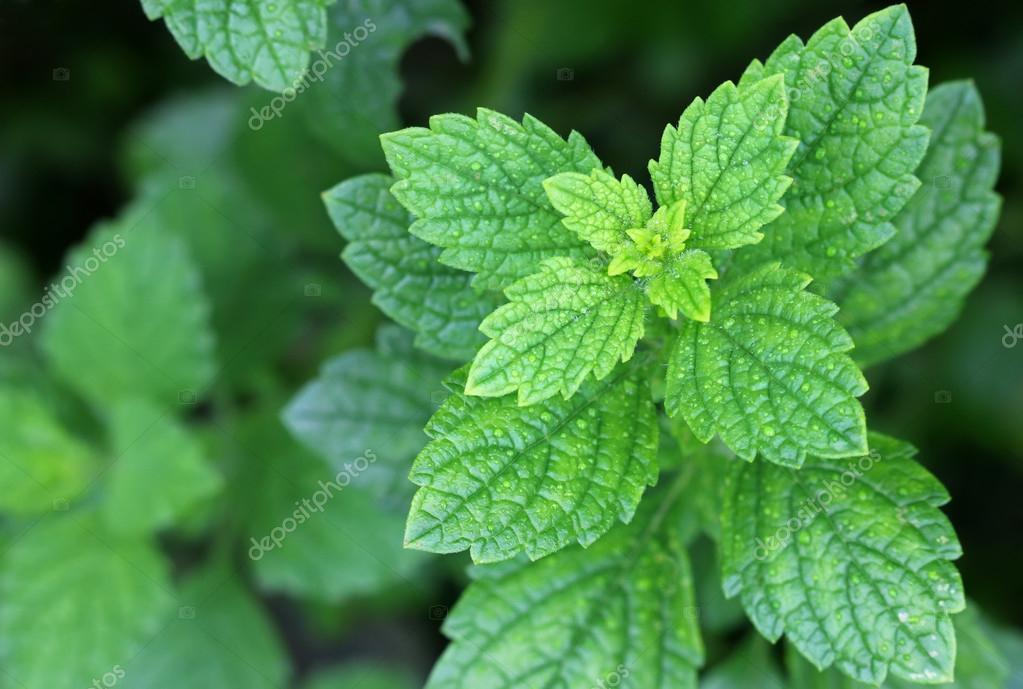 Fresh Lemon balm in the garden
