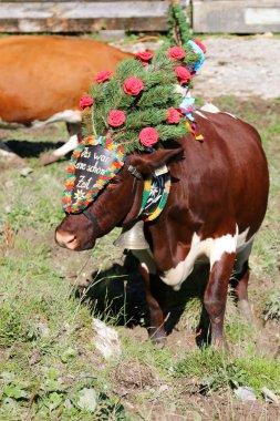 Austrian cows during a cattle drive (Almabtrieb Festival) in Tyrol, Austria