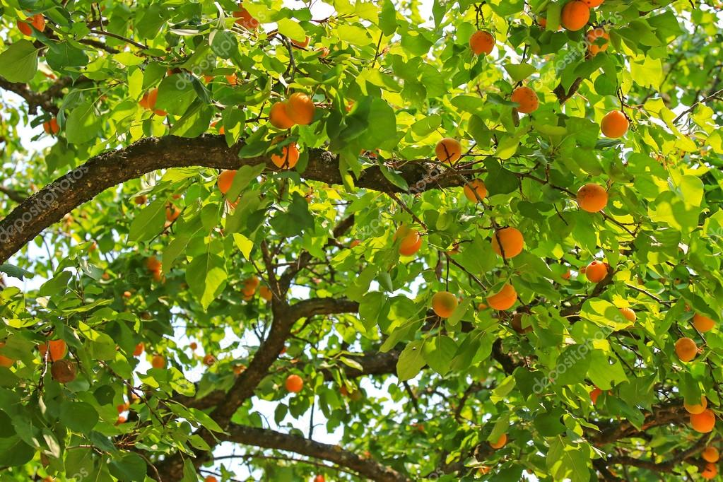 An Apricot tree bearings many fruit during summer