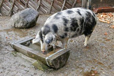 The Turopolje Pig, European white sow pig with black spots drink