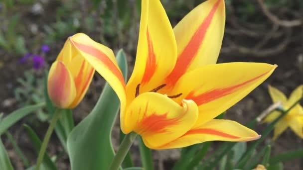 barevné tulipány. tulipány v jaro, barevné Tulipán
