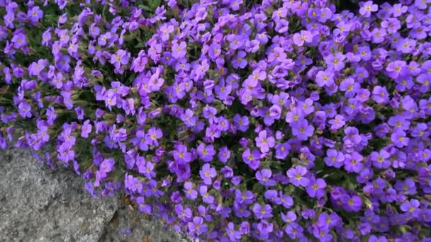 Včela na fialový jarní květiny