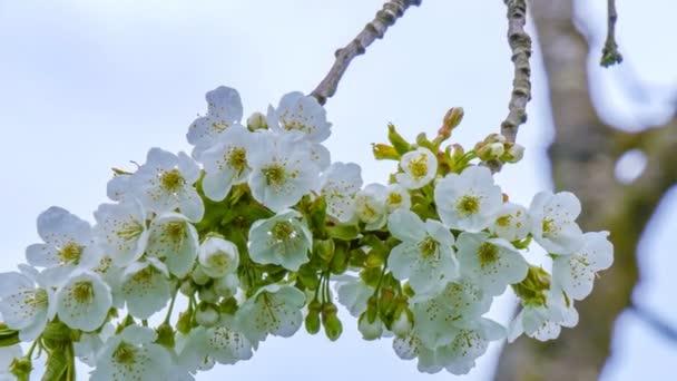 A cseresznyevirág virágai tavasszal