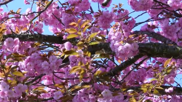 composition with pink sakura flowers
