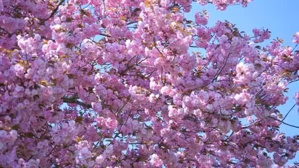 složení s květy růžovými sakura
