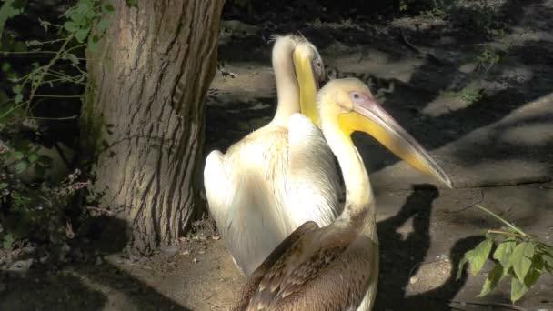 Európai fehér pelicaneuropean fehér Pelikán