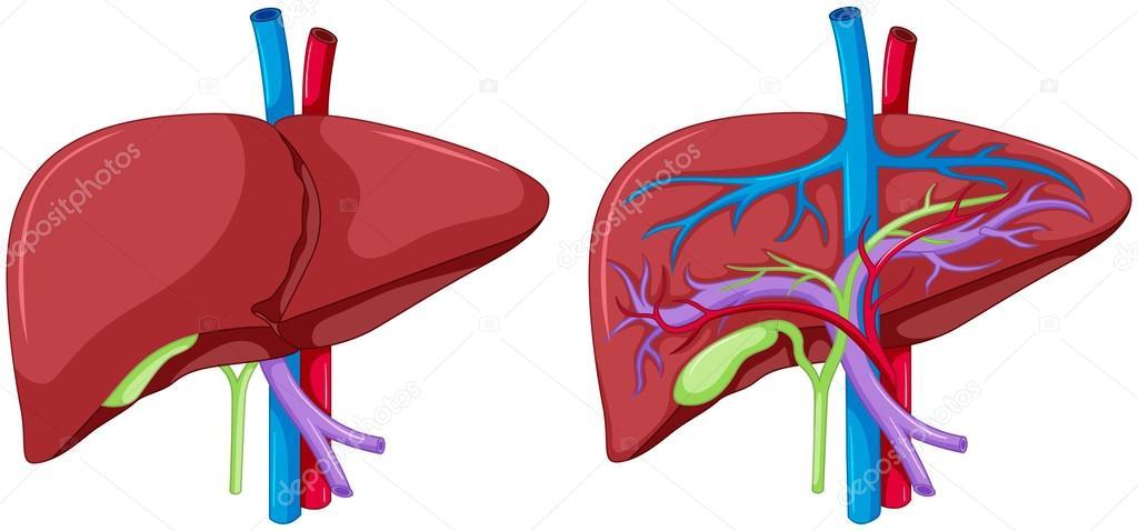 Dos diagrama de la anatomía del hígado — Vector de stock ...