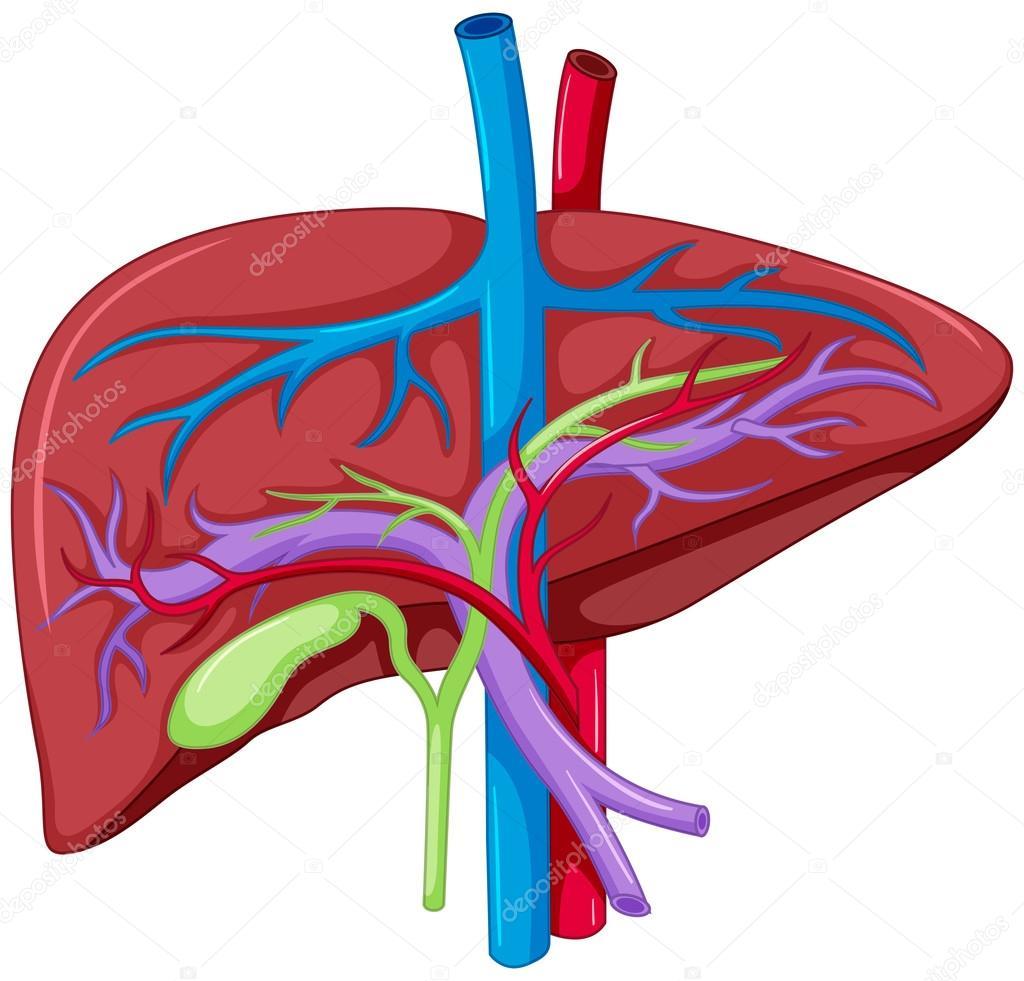 Cierre esquema de anatomía del hígado — Archivo Imágenes Vectoriales ...