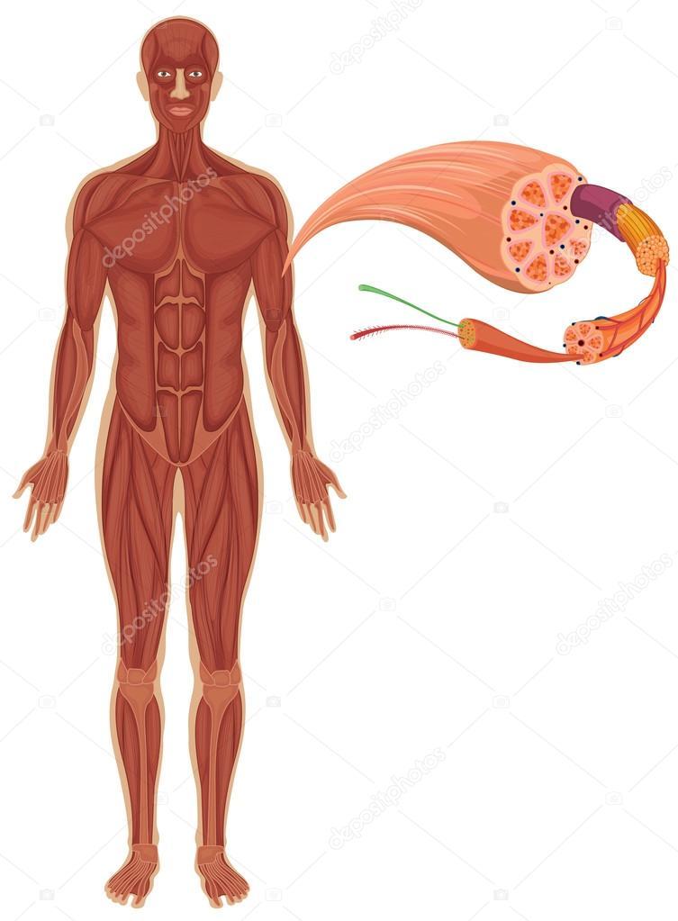 Humanos con diagrama de músculo — Vector de stock © interactimages ...