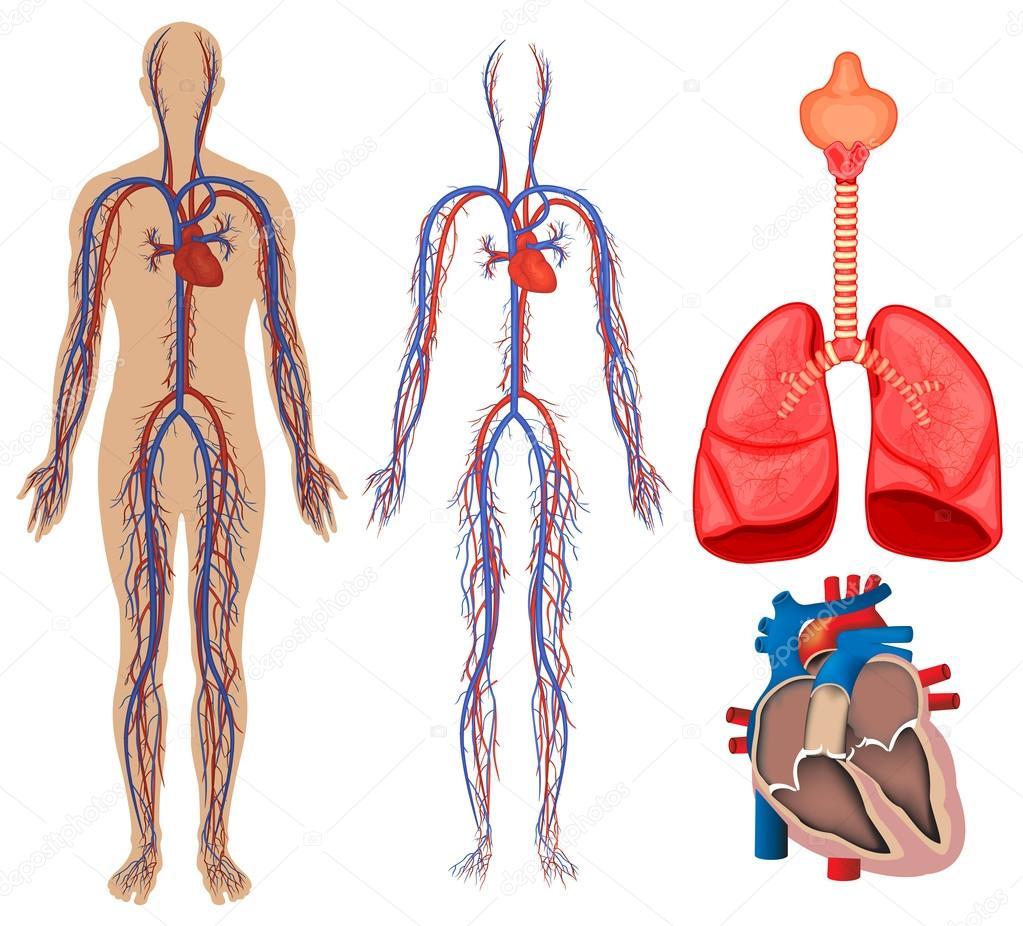 Sistema circulatorio en el cuerpo humano — Vector de stock ...